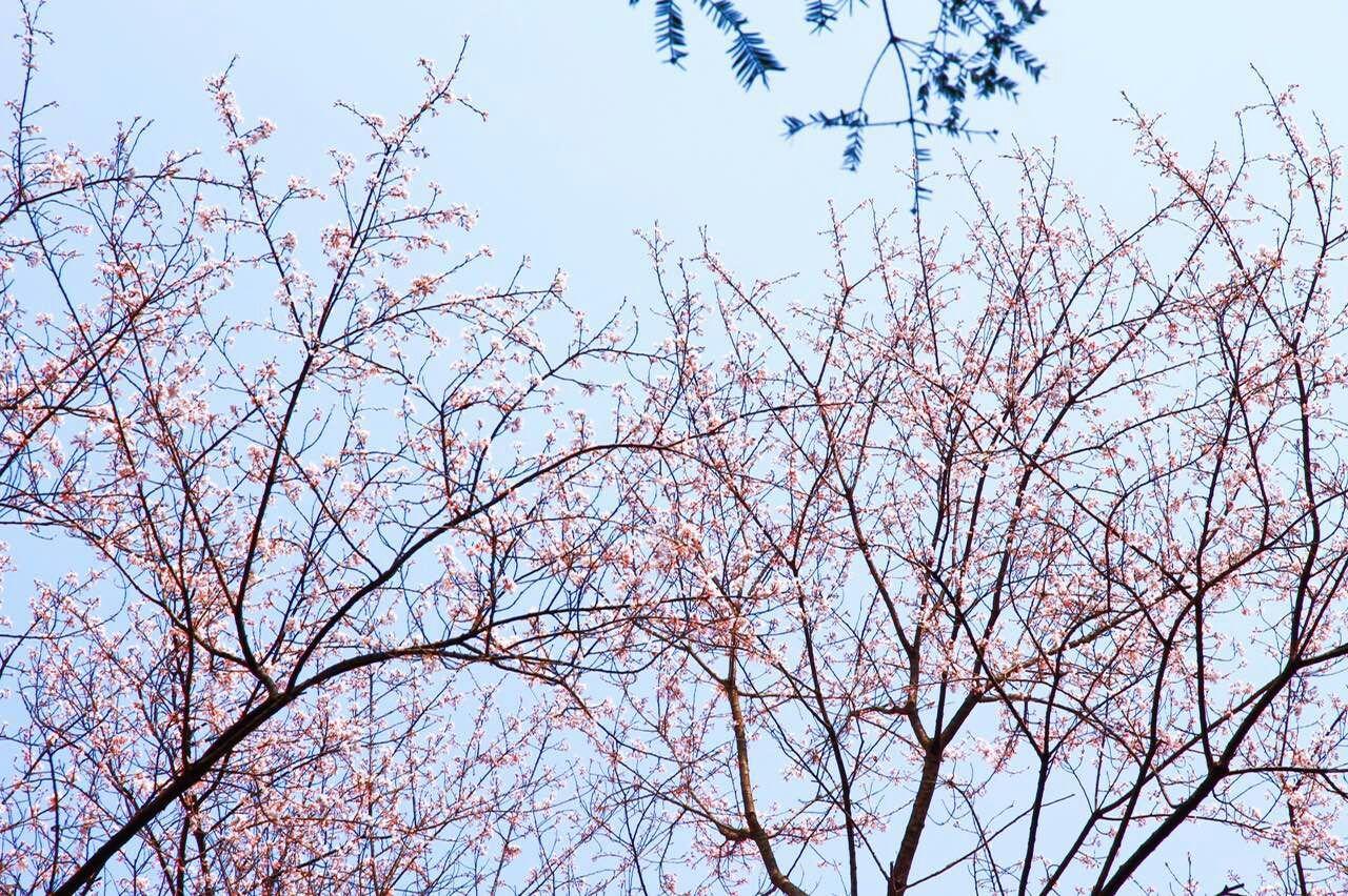 在800年的古樱花树下 和你虚度时光